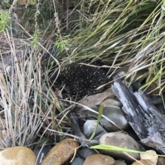 Tachyglossus aculeatus (Short-beaked Echidna) at Illilanga & Baroona - 3 Jan 2020 by Illilanga