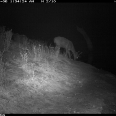 Dama dama (Fallow Deer) at Illilanga & Baroona - 5 Jan 2020 by Illilanga