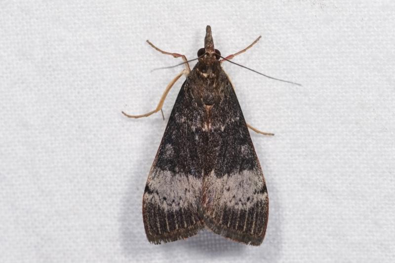 Uresiphita ornithopteralis at Melba, ACT - 18 Dec 2020