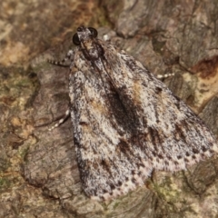 Spectrotrota fimbrialis (A Pyralid moth) at Melba, ACT - 18 Dec 2020 by kasiaaus