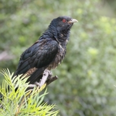 Eudynamys orientalis (Eastern Koel) at Merimbula, NSW - 31 Dec 2020 by Leo