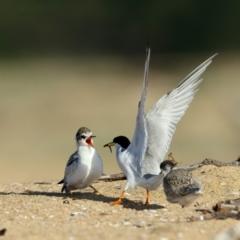 Sternula albifrons (Little Tern) at Tathra, NSW - 1 Jan 2021 by Leo