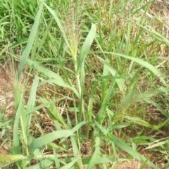 Panicum capillare or P. hillmanii (An exotic invasive panic grass) at Nangus, NSW - 18 Dec 2010 by abread111