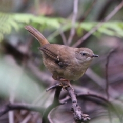 Sericornis frontalis (White-browed Scrubwren) at Budawang, NSW - 2 Jan 2021 by LisaH