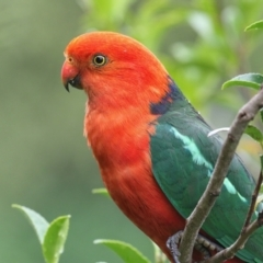 Alisterus scapularis (Australian King-parrot) at Merimbula, NSW - 3 Jan 2021 by Leo