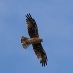 Hieraaetus morphnoides (Little Eagle) at Symonston, ACT - 3 Jan 2021 by rawshorty