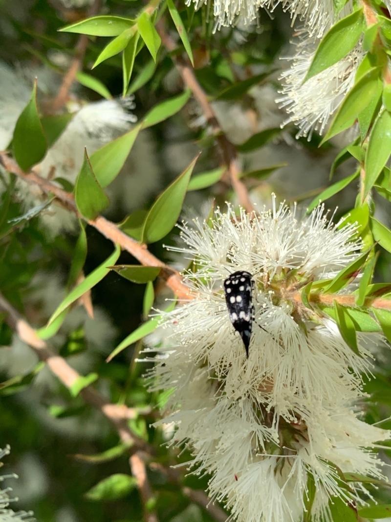 Mordella dumbrelli at Murrumbateman, NSW - 3 Jan 2021