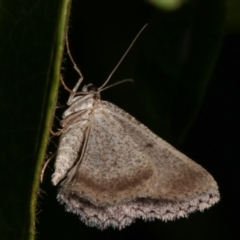 Boarmiini (tribe) (Geometer moth) at Melba, ACT - 18 Dec 2020 by kasiaaus