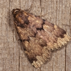 Mormoscopa phricozona (A Herminiid Moth) at Melba, ACT - 18 Dec 2020 by kasiaaus