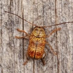 Aporocera (Aporocera) melanocephala (TBC) at Melba, ACT - 18 Dec 2020 by kasiaaus