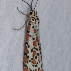 Utetheisa sp. (genus) (A tiger moth) at Melba, ACT - 18 Dec 2020 by kasiaaus