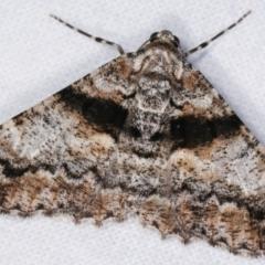 Gastrinodes argoplaca (Cryptic Bark Moth) at Melba, ACT - 18 Dec 2020 by kasiaaus