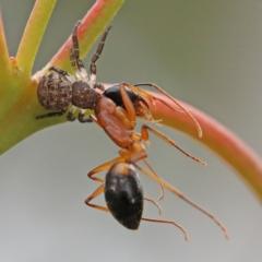 Camponotus consobrinus (Banded sugar ant) at Dryandra St Woodland - 29 Nov 2020 by ConBoekel