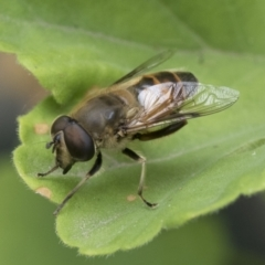 Eristalis tenax (Drone fly) at Higgins, ACT - 2 Jan 2021 by AlisonMilton