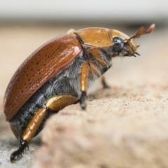 Anoplognathus porosus (Porosus Christmas beetle) at Higgins, ACT - 2 Jan 2021 by AlisonMilton