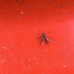 Austrosciapus connexus (Green long-legged fly) at Murrumbateman, NSW - 2 Jan 2021 by SimoneC