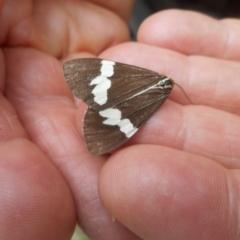 Nyctemera amicus (Senecio or Magpie moth) at Glen Allen, NSW - 31 Dec 2020 by JBrickhill