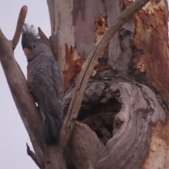 Callocephalon fimbriatum (Gang-gang Cockatoo) at Red Hill Nature Reserve - 23 Dec 2020 by roymcd