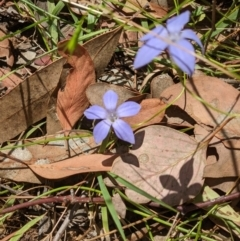 Wahlenbergia sp. (Bluebell) at Nail Can Hill - 2 Jan 2021 by ChrisAllen