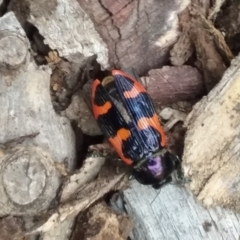 Castiarina bremei (A jewel beetle) at Lake Burley Griffin Central/East - 1 Jan 2021 by natureguy