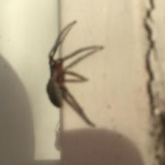 Dolophones sp. (genus) (Wrap-around spider) at Belconnen, ACT - 3 Jan 2021 by jgiacon