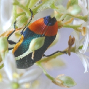 Castiarina kerremansi at Red Hill Nature Reserve - 2 Jan 2021