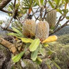 Banksia serrata (Saw Banksia) at Bundanoon - 3 Jan 2021 by Boobook38
