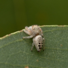 Opisthoncus sexmaculatus (Six-marked jumping spider) at Kama - 3 Jan 2021 by trevsci