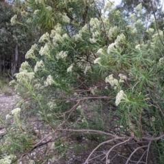 Cassinia longifolia (Shiny Cassinia, Cauliflower Bush) at Currawang, NSW - 28 Dec 2020 by camcols
