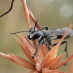 Isodontia sp. (genus) (Unidentified Grass-carrying wasp) at Mount Painter - 2 Jan 2021 by CathB