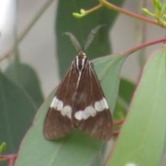 Nyctemera amicus (Senecio or Magpie moth) at Franklin, ACT - 2 Jan 2021 by Christine