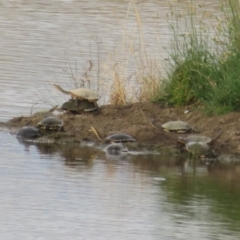 Chelodina longicollis (Eastern Long-neck Turtle) at Wallaroo, NSW - 3 Jan 2021 by Christine