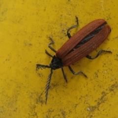 Porrostoma sp. (genus) (Lycid beetle, Net-winged beetle) at Namadgi National Park - 31 Dec 2020 by Christine