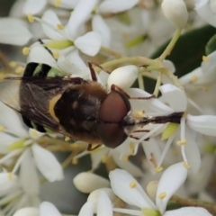 Odontomyia sp. (genus) (Soldier fly) at Mount Painter - 3 Jan 2021 by CathB