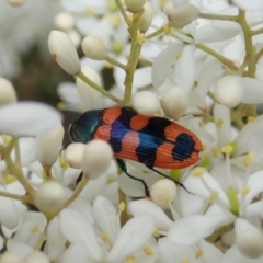 Castiarina crenata (Crenata jewel beetle) at Mount Painter - 3 Jan 2021 by CathB