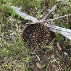 Tachyglossus aculeatus (Short-beaked Echidna) at Mount Painter - 4 Nov 2020 by CathB
