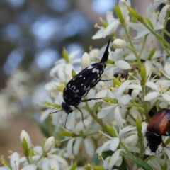 Mordella dumbrelli (Pintail or tumbling flower beetle) at Mount Painter - 26 Dec 2020 by CathB