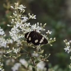 Nyctemera amicus (Senecio or Magpie moth) at Mount Majura - 30 Dec 2020 by Tammy