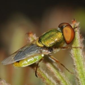 Odontomyia sp. (genus) at ANBG - 1 Jan 2021