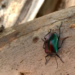 Chalcopteroides cupripennis (Rainbow darkling beetle) at Murrumbateman, NSW - 3 Jan 2021 by SimoneC