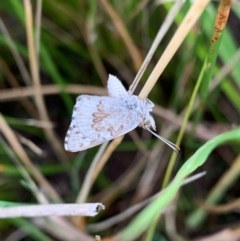 Lucia limbaria (Chequered Copper) at Murrumbateman, NSW - 4 Jan 2021 by SimoneC
