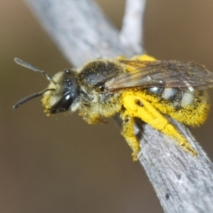 Lasioglossum (Chilalictus) sp. (genus & subgenus) (Halictid bee) at Red Hill Nature Reserve - 2 Jan 2021 by Harrisi