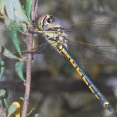 Hemicordulia tau (Tau Emerald) at Red Hill Nature Reserve - 2 Jan 2021 by Harrisi