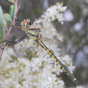 Hemicordulia tau at Red Hill Nature Reserve - 2 Jan 2021