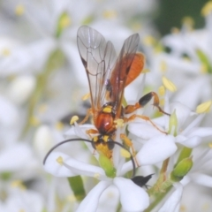 Ichneumonidae sp. (family) (Unidentified ichneumon wasp) at Red Hill Nature Reserve - 2 Jan 2021 by Harrisi