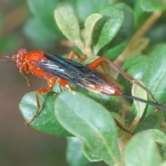 Lissopimpla excelsa (Orchid dupe wasp) at Red Hill Nature Reserve - 2 Jan 2021 by Harrisi