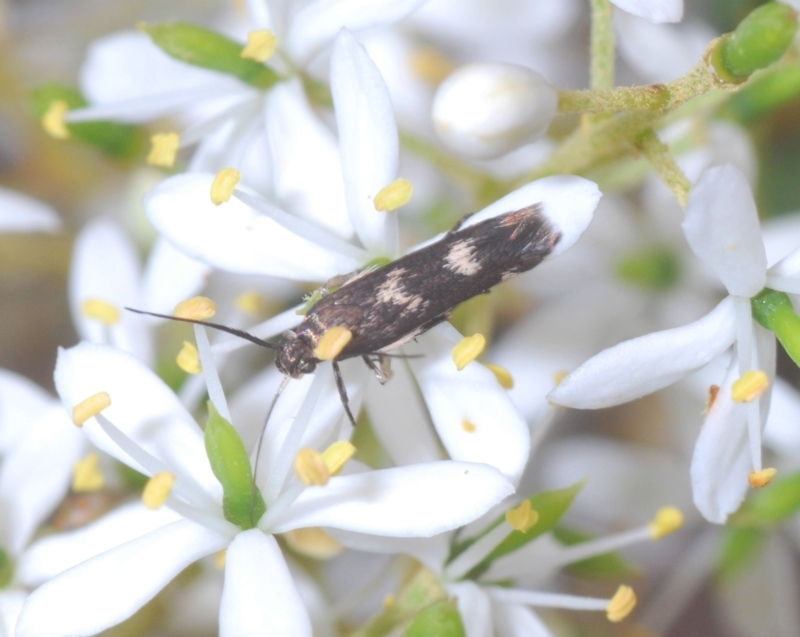 Crossophora semiota at Red Hill Nature Reserve - 2 Jan 2021