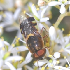 Odontomyia sp. (genus) (Soldier fly) at Red Hill Nature Reserve - 2 Jan 2021 by Harrisi
