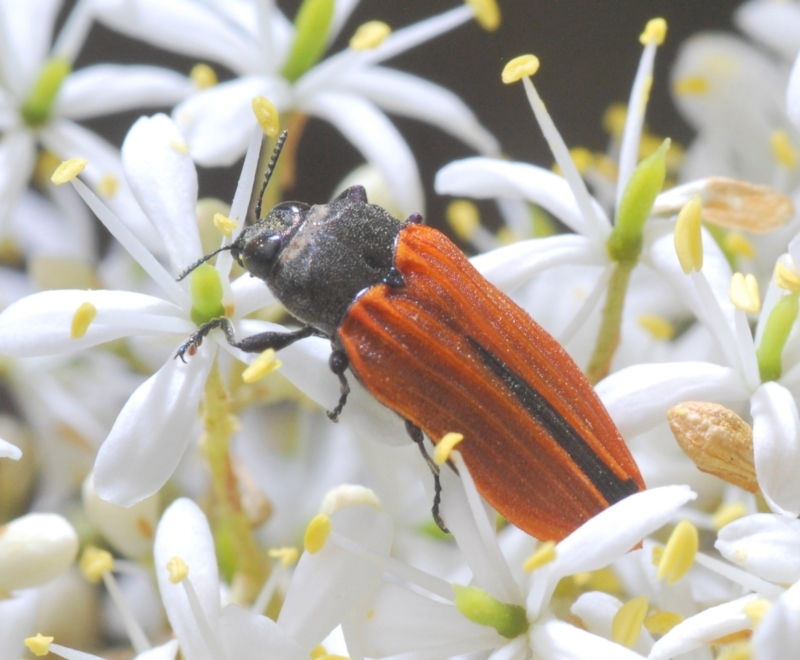 Castiarina erythroptera at Red Hill Nature Reserve - 2 Jan 2021