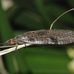 Archichauliodes (Riekochauliodes) guttiferus (Dobsonfly or Fishfly) at ANBG - 1 Jan 2021 by TimL